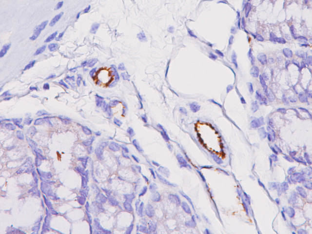 Mouse colon stained with CD31 rat monoclonal antibody