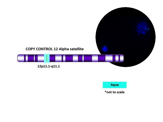Copy Control 12 Aqua FISH probe hybridized on normal blood sample.  Interphase and metaphase cellular state are shown.