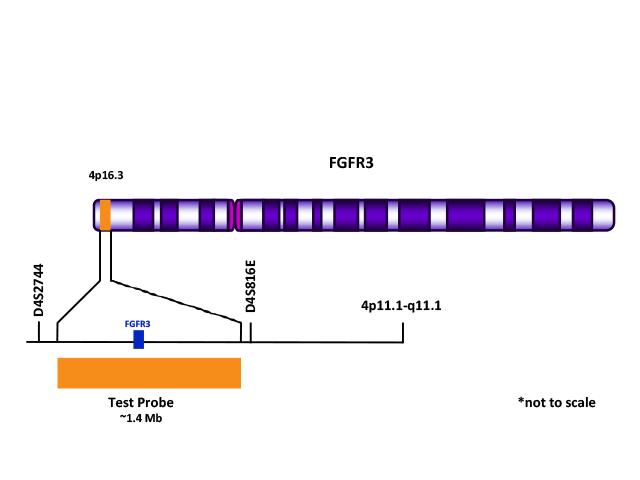 FGFR3 (4p16.3) Orange FISH Probe